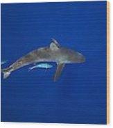 Silky Shark Wood Print