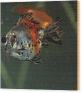 Silver Goldfish Wood Print