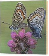 Silver-studded Blue Plebejus Argus Wood Print