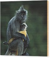 Silvered Leaf Monkey And Baby Wood Print