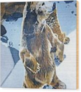 Silvertip Grizzly Bear Wood Print
