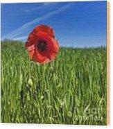 Single Poppy Flower  In A Field Of Wheat Wood Print