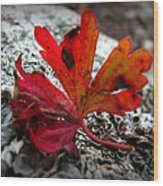 Single Red Leaf  Wood Print