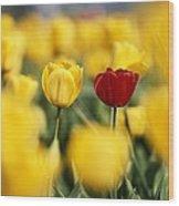 Single Red Tulip Among Yellow Tulips Wood Print