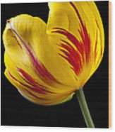 Single Yellow And Red Tulip Wood Print