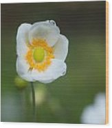 Sinle Dew Drenched Anemone Wood Print