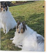 Sitting Pretty Collie Dogs Wood Print