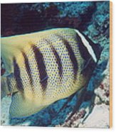 Six-banded Angelfish Wood Print