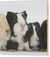 Six Young Guinea Pigs In A Row Wood Print