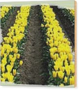 Skagit Valley Tulips 2 Wood Print