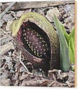 Skunk Cabbage Baby Aka  Polecat Weed Wood Print