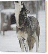Sled Dog Howling Wood Print