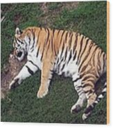 Sleepy Tiger Wood Print