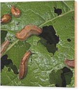 Slugs And A Snail Are Feeding On Leaves Wood Print
