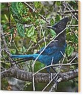 Small Blue Jay Of California Wood Print