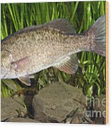 Smallmouth Bass Micropterus Dolomieu Wood Print