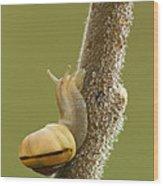 Snail In Dew Wood Print