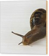 Snail Isolated On White Background Wood Print