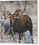 Snow Bull Wood Print