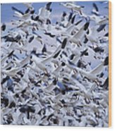 Snow Geese Chen Caerulescens Fly Wood Print by Ralph Lee Hopkins
