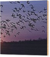 Snow Geese Migrating Wood Print