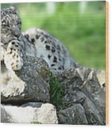 Snow Leopard At Rest. Kitty Time Wood Print
