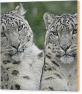 Snow Leopard Pair Sitting Wood Print