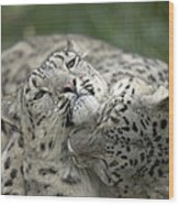 Snow Leopards Playing Wood Print