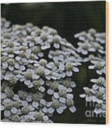 Snow Sport Yarrow Wood Print