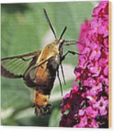 Snowberry Clearwing Moth Wood Print