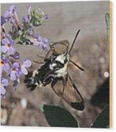 Snowberry Clearwing Moth Feeding Wood Print