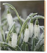 Snowdrops (galanthus Sp.) Wood Print