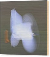 Snowy Egret Egretta Thula Flying Wood Print