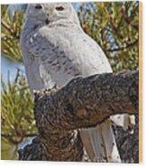 Snowy Owl Resting Wood Print