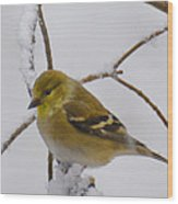 Snowy Yellow Finch Wood Print