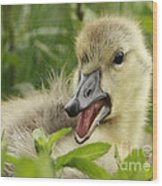 So Much To Say So Little Time For A Gosling Wood Print