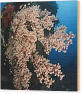 Soft Coral On The Liberty Wreck, Bali Wood Print