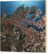 Soft Coral Reef Seascape, Indonesia Wood Print