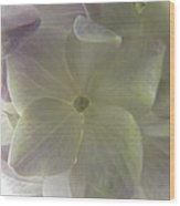 Softly Lit Hygrangea Bloom Wood Print