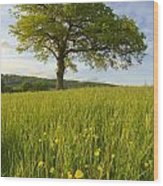 Solitary Oak Tree And Wildflowers In Wood Print