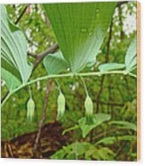 Solomon's Seal Wildflower - Polygonatum Commutatum Wood Print