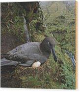 Sooty Albatross Phoebetria Fusca Wood Print