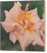 Sorbet Rose 2  Wood Print by Glenn Lawrence
