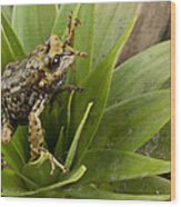 Southern Frog Newly Discovered Species Ecuador Wood Print