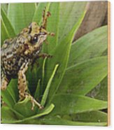 Southern Frog Pristimantis Sp, Newly Wood Print