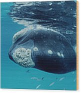 Southern Right Whale Australia Wood Print