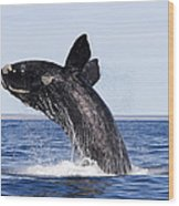 Southern Right Whale Wood Print