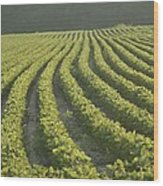 Soybean Crop Ready To Harvest Wood Print