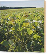 Soybeans Sprout In A Large Eastern Wood Print by Stephen St. John