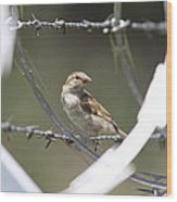 Sparrow - Protected By Razor Wire Wood Print